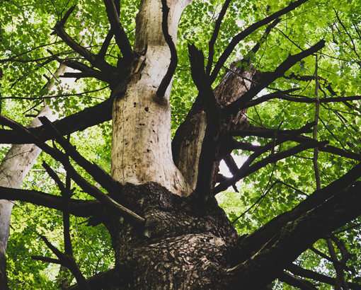Mayan Sign Cane Trecena Strong Tree Trunk