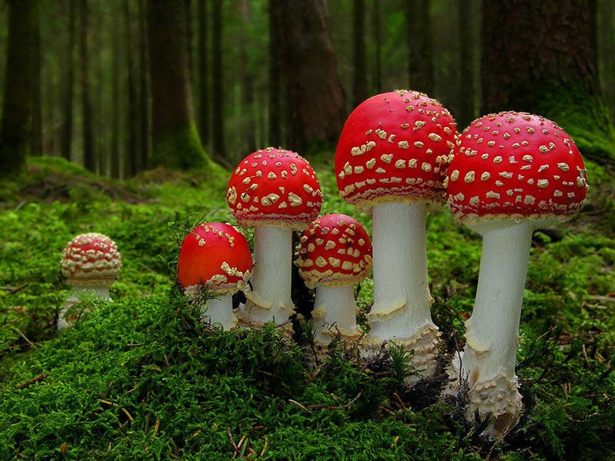 Amanita Muscaria Mushrooms