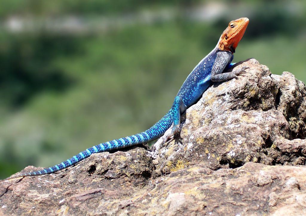 Mayan Sign Seed - lizard